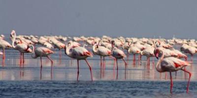 pulicat-lake-flamingos